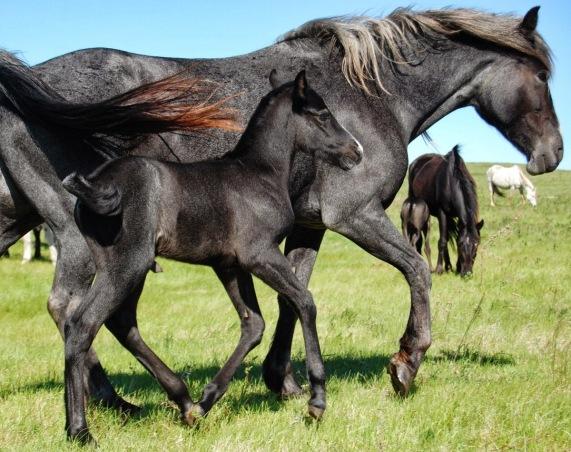 Svartskimmel, svart och skimmel. Rasens tre vanligaste färger. Blue roan, black and grey. The three most common colors of the breed.