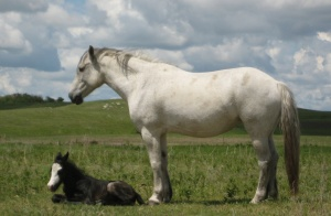 Two Wolves, a Ranch Type Mare.