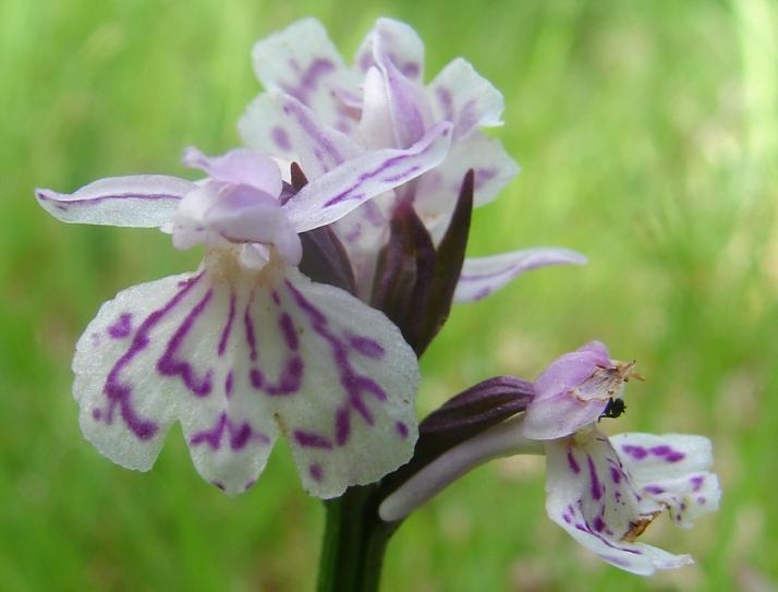 En skir liten Jungfru Marie Nycklar i hästhagen A delicate little Moorland/Heath Spotted Orchid
