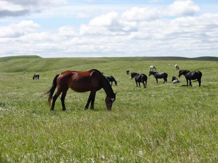 Nokotas® i ro på Kuntz Ranch utanför Linton, North Dakota Nokotas® at peace on the Kuntz Ranch outside Linton, North Dakota