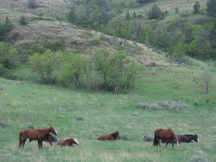 Vildhästar i Theodore Roosevelt Nationalpark 2007. Hästarnas generella karaktär har ändrats till en mer modern typ av häst. Wild horses in TRNP 2007. The horses' general appearance has change to a modern type of horse.