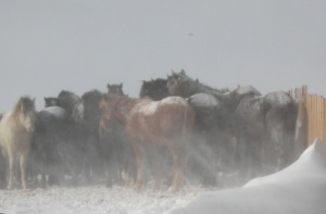 Vintertid är tuff tid för hästar på prärien, med ont om naturligt vindskydd. Winter time is tough time for ponies on the prairie where natural wind protection is sparse.
