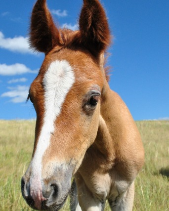 An inquisitive Frideborg as a foal on the North Dakota prairie.