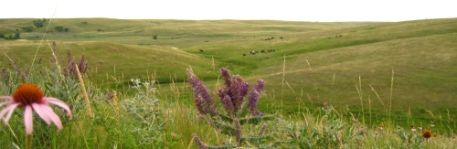 Nokota horses among native prairie plants like echinacea and lead plant