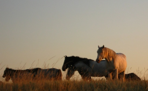 Another white saga horse. Stallion Thunder Butte looks like a dream in the prairie evening sun.